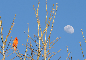 Cardinal and the Moon
